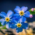 zur Blüte bringen